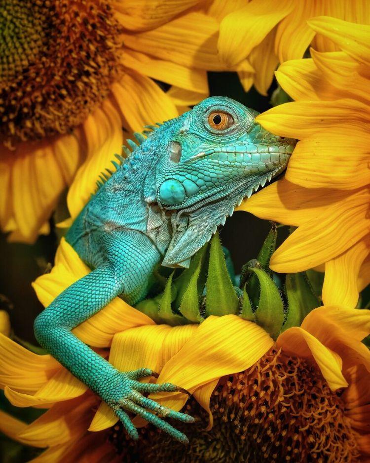 1-iguana