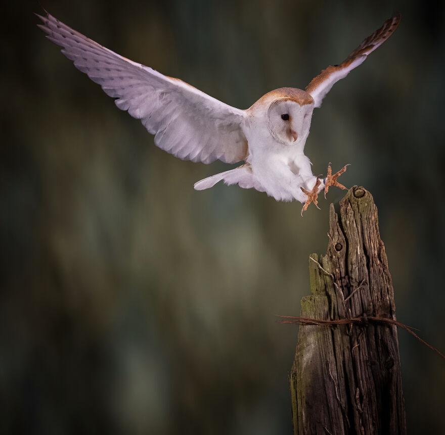 19-owl