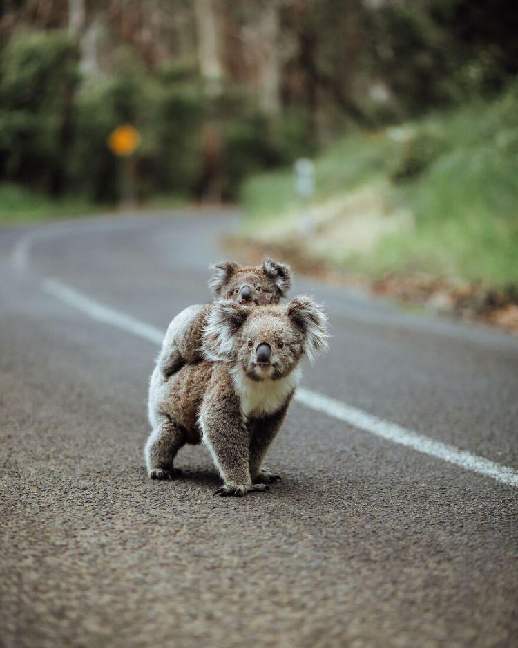 2-koala