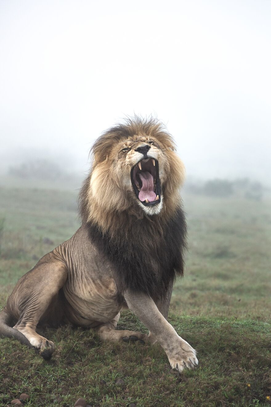 22-lion
