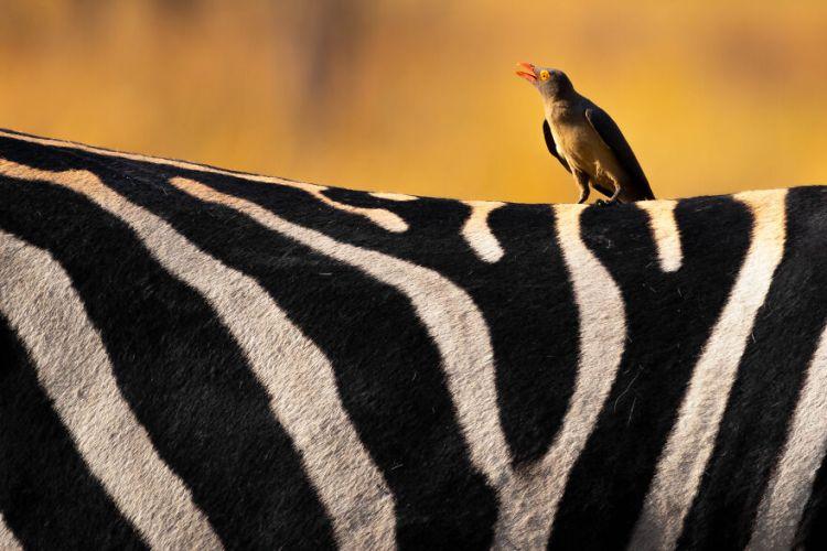 42-bird-zebra