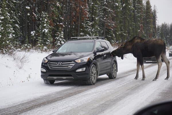 Moose-licks-car