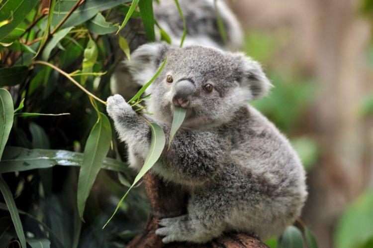 Aus-koala