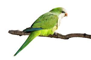 willie-parrot