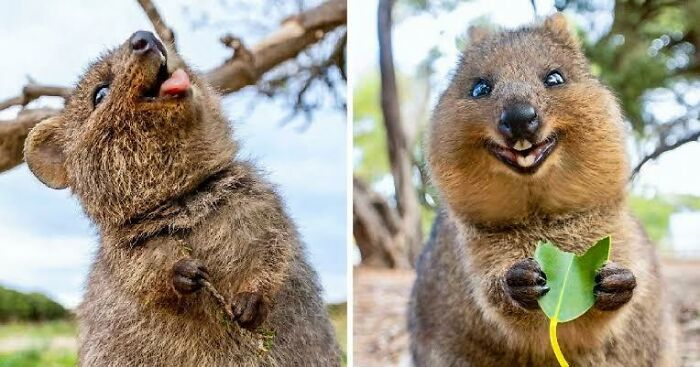 Saturday Surprise — Critters From Down Under 1-quokka