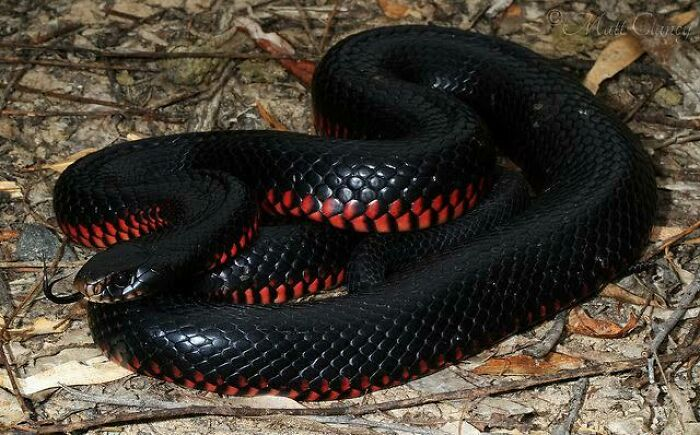 Saturday Surprise — Critters From Down Under 10-red-bellied-blacksnake