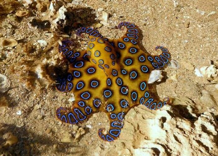 Saturday Surprise — Critters From Down Under 11-blue-ringed-octopus