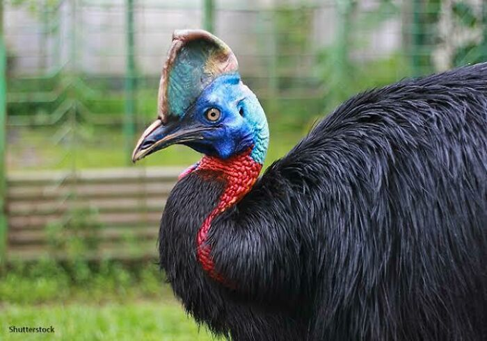 Saturday Surprise — Critters From Down Under 12-cassowary