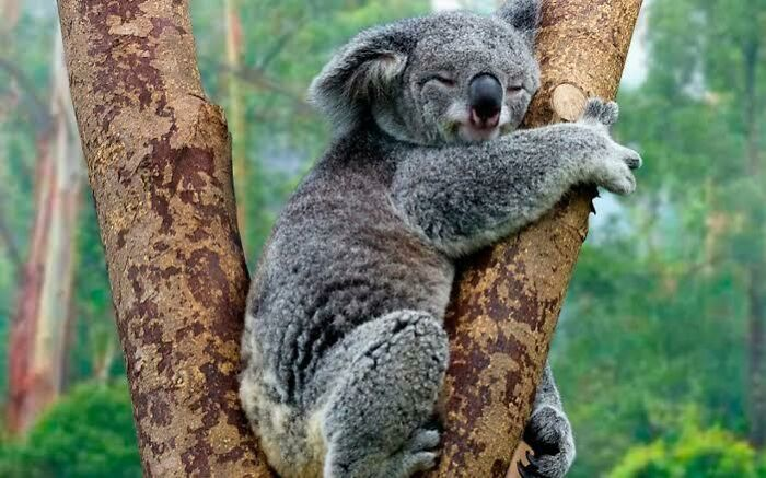 Saturday Surprise — Critters From Down Under 14-koala