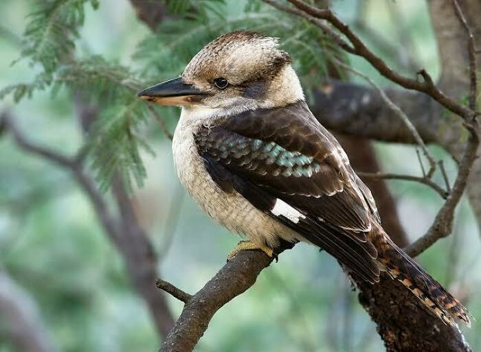 Saturday Surprise — Critters From Down Under 15-kookaburra