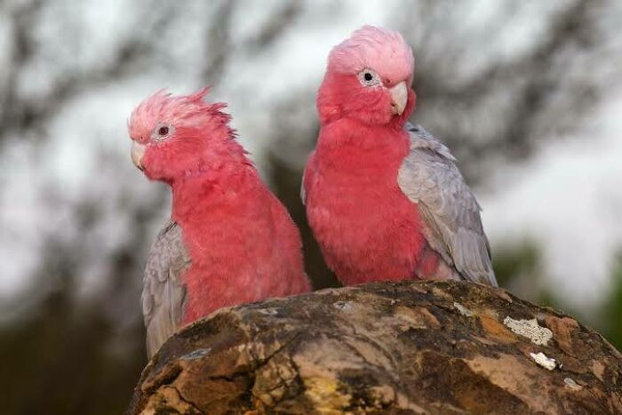 Saturday Surprise — Critters From Down Under 2-galah