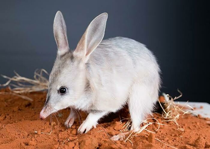Saturday Surprise — Critters From Down Under 27-bilby