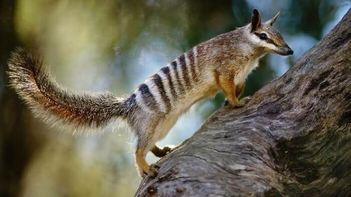 Saturday Surprise — Critters From Down Under 28-numbat