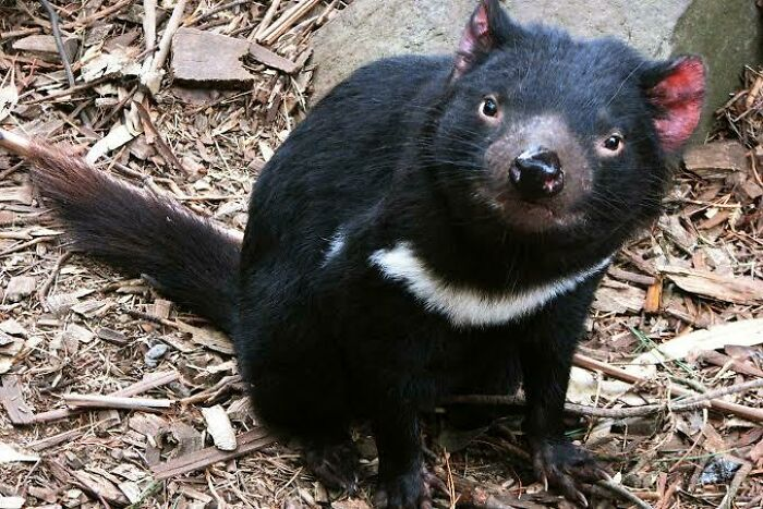 Saturday Surprise — Critters From Down Under 34-tasmanian-devil