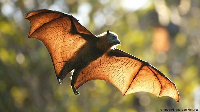 Saturday Surprise — Critters From Down Under 35-flying-fox-megabat