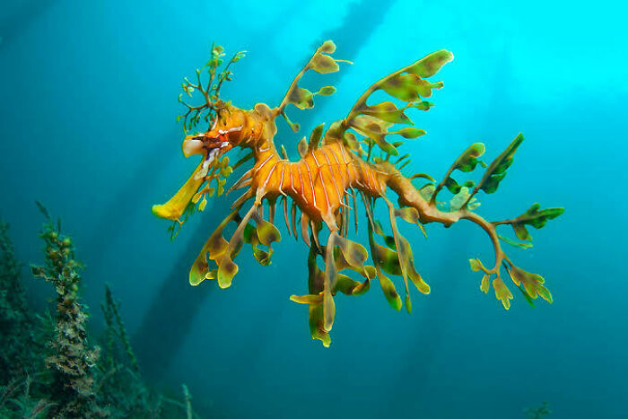 Saturday Surprise — Critters From Down Under 5-leafy-sea-dragon