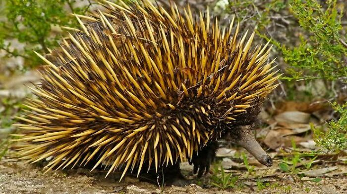 Saturday Surprise — Critters From Down Under Echidna