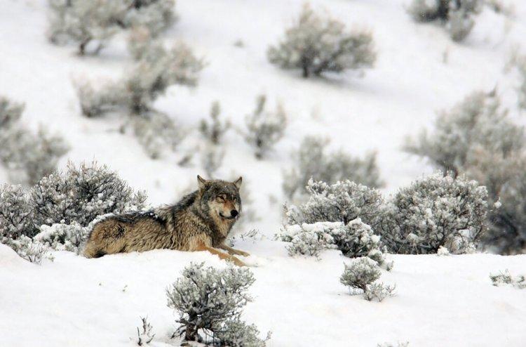 wolf-Yellowstone